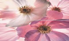 Фото Cristal Ceramica декор-панно Dilan Decorado Fiore 50x75 (комплект 2 шт)
