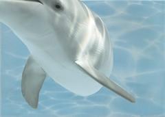 Фото БерезаКерамика декор Лазурь Дельфин 8 бирюзовый 25x35