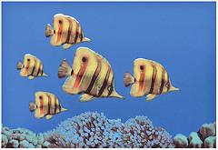 Фото Атем декор Monocolor Fish 3 27.5x40 (07736)